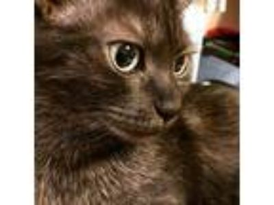 Adopt Luna a Black (Mostly) American Shorthair / Mixed cat in Warren