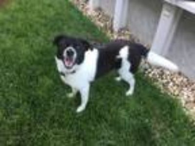 Adopt Charlie a Border Collie