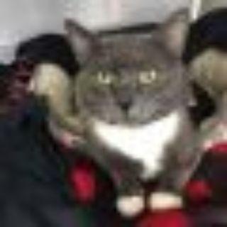 Bernard Domestic Short Hair Cat