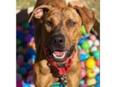 Adopt Carly a Brindle Plott Hound / Catahoula Leopard Dog / Mixed dog in Dallas