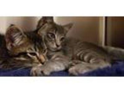 Adopt Arya a Gray, Blue or Silver Tabby Domestic Mediumhair cat in South Jordan