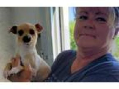 Adopt Bobby a Pom-Jack puppy a Pomeranian, Jack Russell Terrier