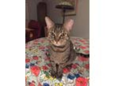 Adopt Kitty Coo a Brown Tabby Domestic Shorthair / Mixed (short coat) cat in
