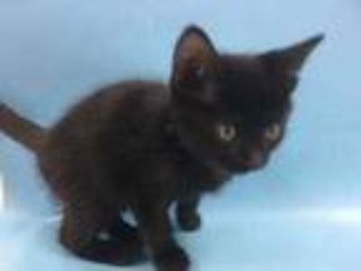 Adopt Phil a All Black Domestic Shorthair / Mixed cat in St. Paul, MN (25937407)