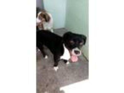 Adopt Frick a Black - with White Spaniel (Unknown Type) / Hound (Unknown Type) /