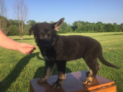 German Shepherd Dog PUPPY FOR SALE ADN-80912 - German Shepherd Working Dog Puppies