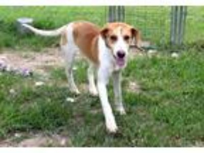 Adopt Lilly a Tan/Yellow/Fawn Beagle / Hound (Unknown Type) / Mixed dog in