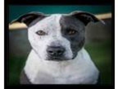 Adopt ROCCO a Staffordshire Bull Terrier