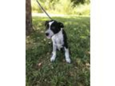 Adopt Hush Puppy a Australian Cattle Dog / Blue Heeler