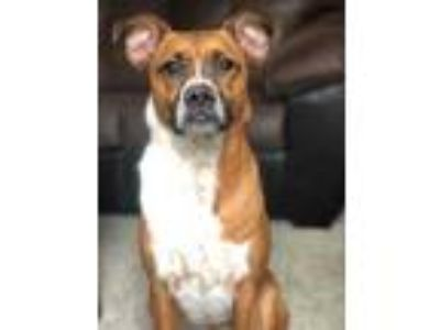 Adopt Chrystal a Brown/Chocolate Boxer / Australian Cattle Dog / Mixed dog in