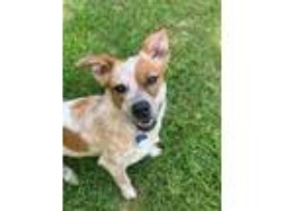 Adopt Sasha a Red/Golden/Orange/Chestnut Australian Cattle Dog / Mixed dog in