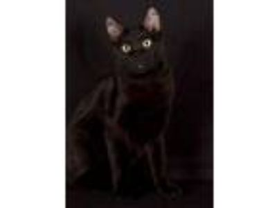 Adopt Eastwood a Domestic Short Hair