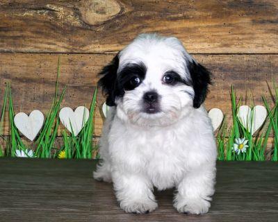 PRICE DROP on this Pekingese poodle mix!