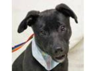 Adopt Abe a Black Labrador Retriever / Mixed dog in Wenatchee, WA (25924364)