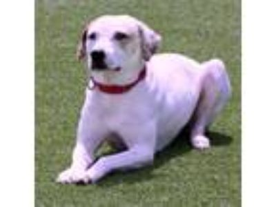 Adopt Jackie a White Retriever (Unknown Type) / Hound (Unknown Type) / Mixed dog