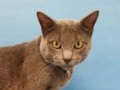 Adopt Peanut a Gray or Blue Russian Blue / Domestic Shorthair / Mixed cat in