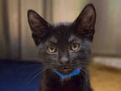 Adopt NATE a All Black Domestic Shorthair / Mixed (short coat) cat in Pasadena