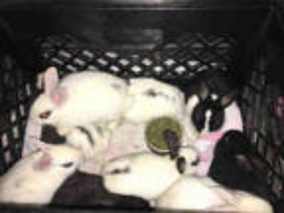 Adopt THUMPER a White American / Mixed rabbit in Los Angeles, CA (25855398)