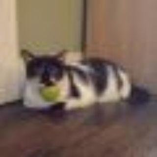 Marbles Domestic Short Hair Cat
