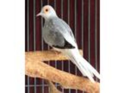Adopt Ziti a Dove bird in San Francisco, CA (25299887)