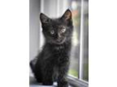 Adopt Peter Parker a Domestic Shorthair / Mixed (short coat) cat in Valrico