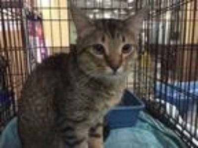 Adopt Leo a Tan or Fawn Tabby Domestic Shorthair (short coat) cat in Smyrna