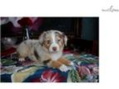 AKC Red Merle Girl - SOLD