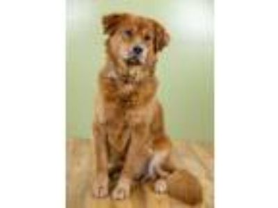 Adopt Grumblin Gus a Golden Retriever, Mixed Breed