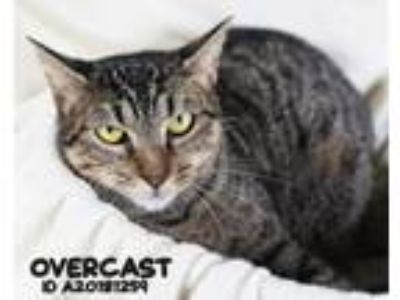 Adopt Overcast a Domestic Short Hair