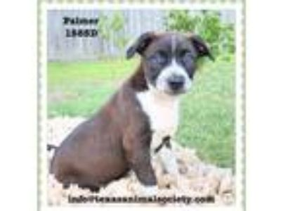 Adopt Palmer a Border Collie / Terrier (Unknown Type, Small) / Mixed dog in