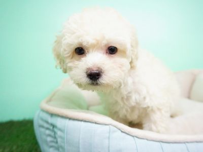 Maltipoo PUPPY FOR SALE ADN-105268 - Maltipoo Female Muffin