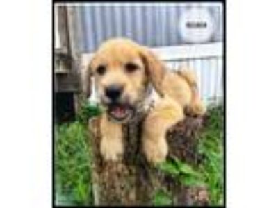 Adopt Reuben a Norfolk Terrier, Labrador Retriever
