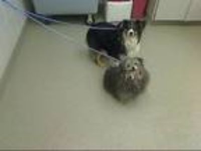 Adopt THUNDER a Australian Shepherd, Mixed Breed