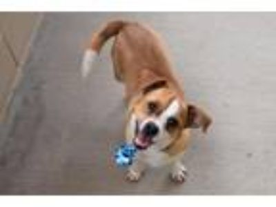 Adopt Philly a Red/Golden/Orange/Chestnut - with White Beagle / Mixed dog in