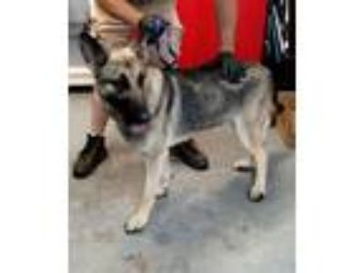 Adopt Maverick a German Shepherd Dog