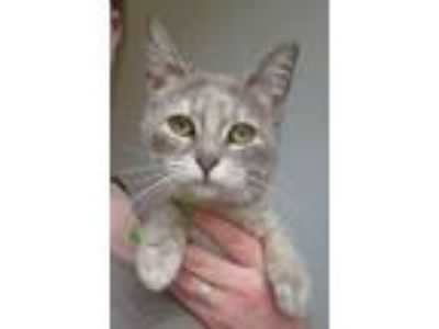 Adopt Noodles a Domestic Short Hair