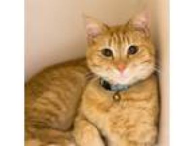 Adopt Talia a Domestic Short Hair