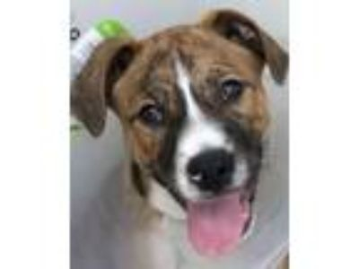 Adopt Bogey a Hound, Jack Russell Terrier