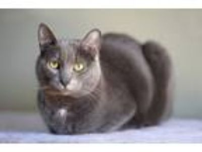Adopt Boots a Gray or Blue (Mostly) American Shorthair / Mixed cat in Dade City