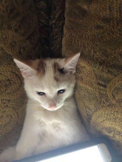 Free female calico kitten