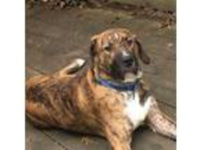 Adopt Bear the Plott Hound a Brindle - with White Plott Hound / Mixed dog in