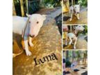 Adopt Luna - Adoption Pending a Bull Terrier