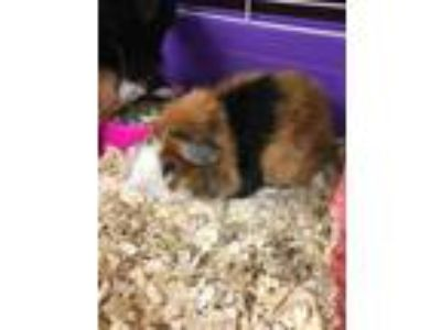 Adopt Peanut a Brown or Chocolate Guinea Pig / Guinea Pig / Mixed small animal