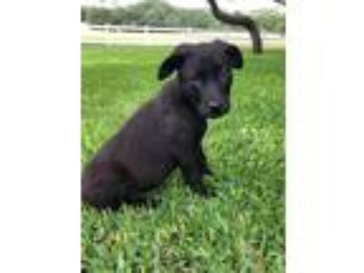 Adopt Milo a Black Border Collie / Mixed dog in Georgetown, TX (25349710)