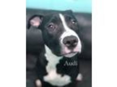 Adopt Audi a Black - with White Mixed Breed (Medium) / Mixed dog in Hockessin