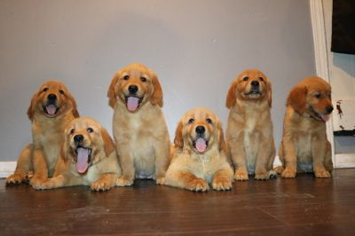 Golden Retriever PUPPY FOR SALE ADN-90942 - Golden Retriever