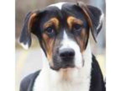 Adopt Scooter a Australian Shepherd, Mountain Dog