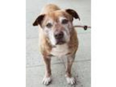 Adopt Tigger a American Staffordshire Terrier / Mixed dog in Elmsford
