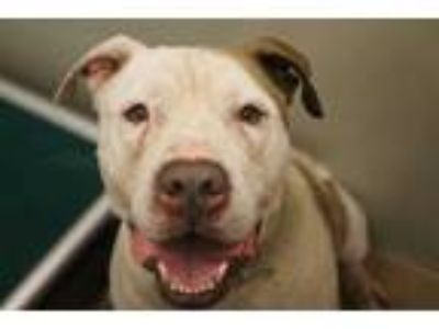 Adopt ABEL a White - with Tan, Yellow or Fawn American Pit Bull Terrier / Mixed