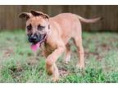 Adopt Kiele a Red/Golden/Orange/Chestnut German Shepherd Dog / American Pit Bull